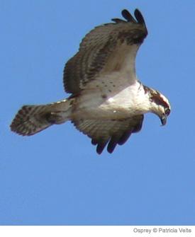 osprey-arcadia