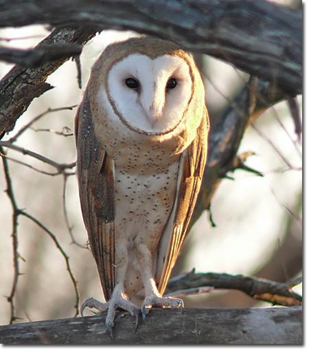 OWLS « Oklahoma City Audubon Society