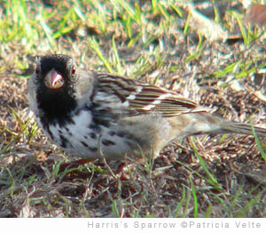 sparrow-harris-VELTE