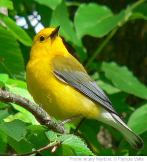warbler-prothonotary