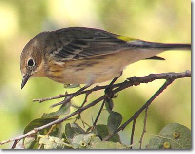 warbler-yellow-rump-lg2