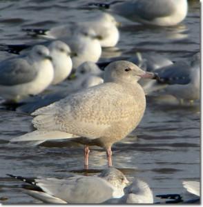 Glaucous Gull. ©Patricia Velte