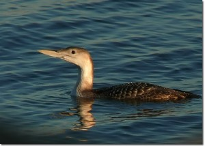 Yellow-billed Loon. ©Patricia Velte