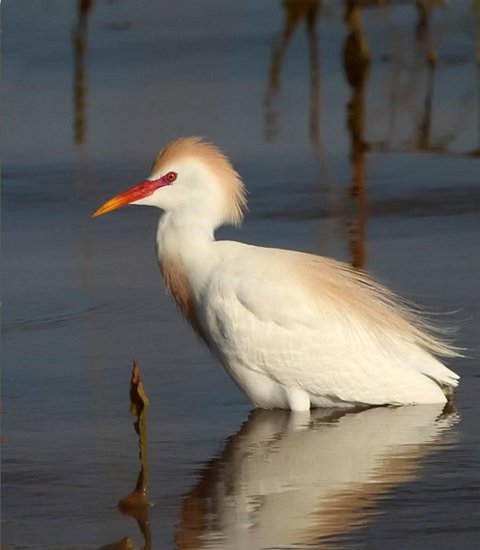 Cattle Egret. © Patricia Velte