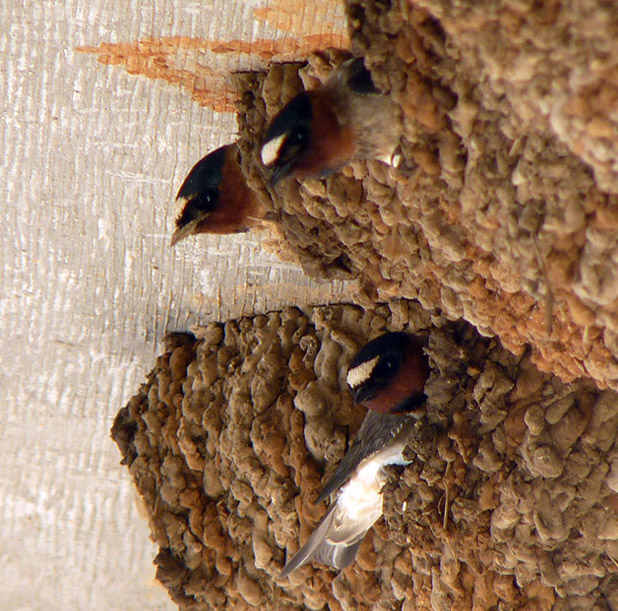 Cliff Swallows at nests. ©Patricia Velte