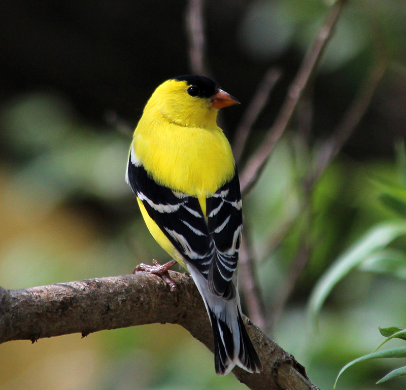 American Goldfinch, male. © Patricia Velte
