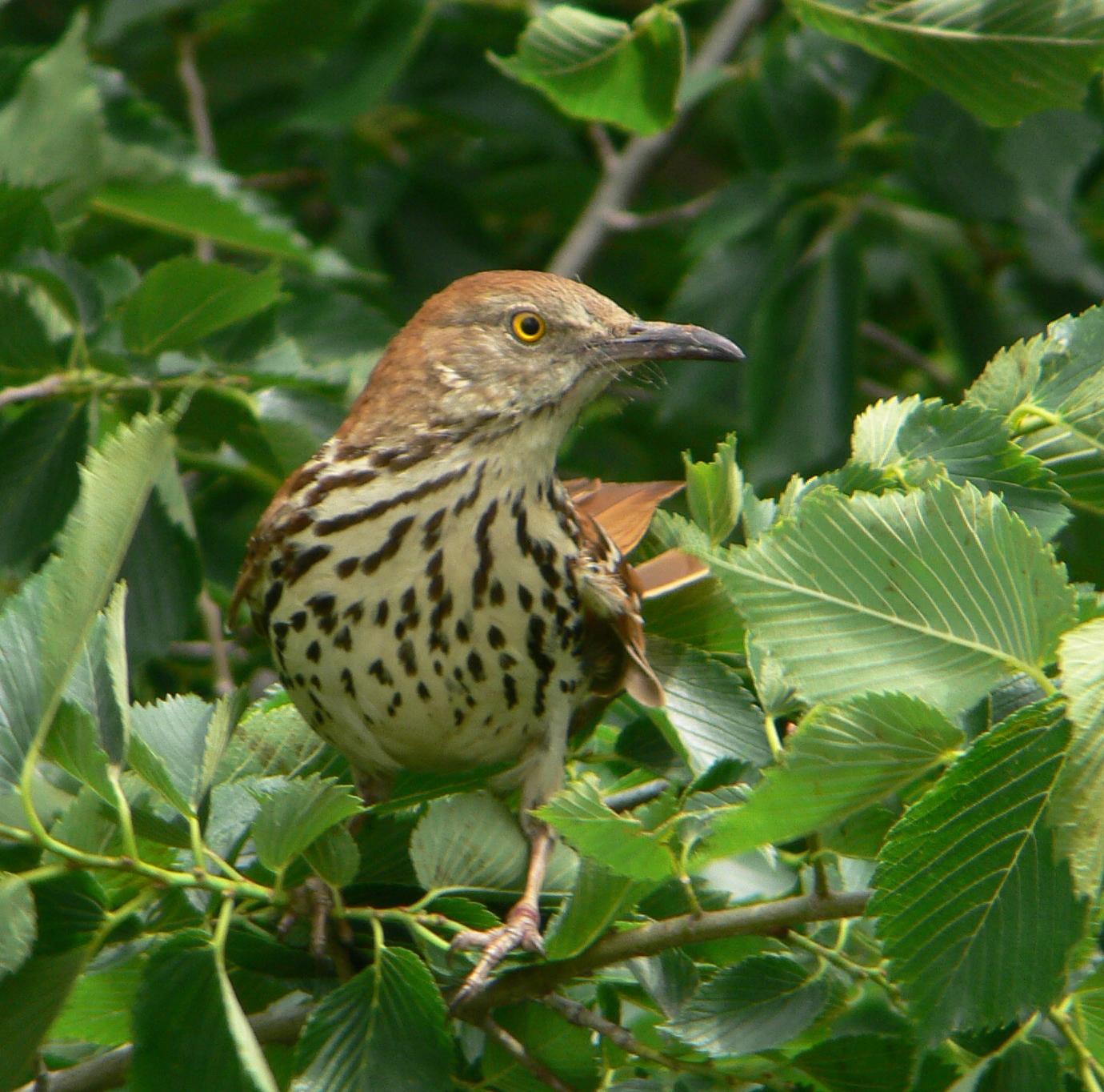 brown thrasher oklahoma city audubon society