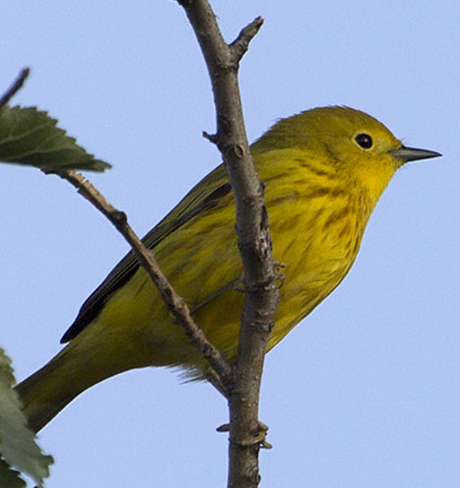 warbler-yellow-lg8