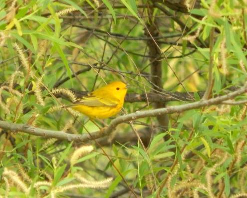 Cunningham-yellowwarbler