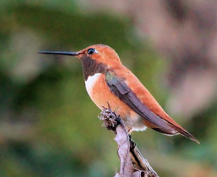 Rufous Hummingbird. © Terri Underhill