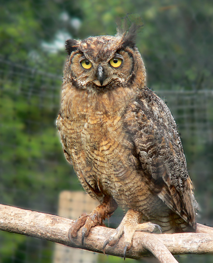 great horned owl - Picture Of Owl