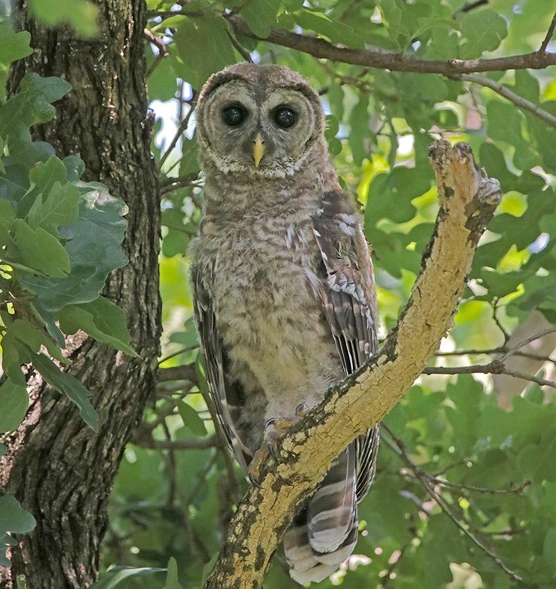 Barred Owl – Oklahoma City Audubon Society